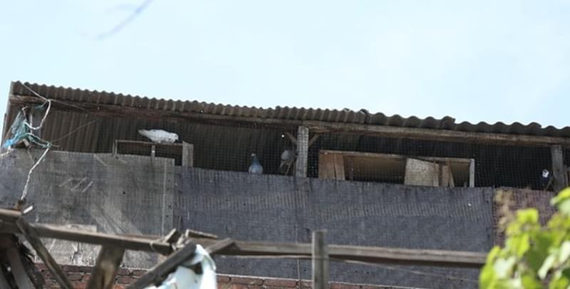 西安男子养鸽子近20年 不料300多只赛鸽一夜失踪