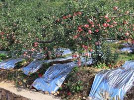 运城供电:建立回收点 处理废弃苹果反光膜