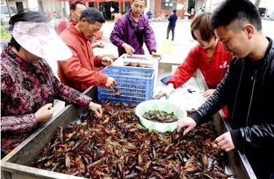 荆州龙虾市场调查:大虾初上市 价格不菲抢着要