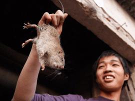 到越南旅游 发现当地姑娘大快朵颐的吃老鼠肉?