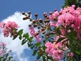 <b>密云打造紫薇花园</b>