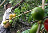 树叶变黄 能力失效:科学家在竭力对抗一种咖啡疾
