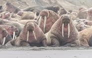 数千海象被迫上岸处境艰难