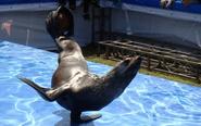 动物园呆萌海狮大咖秀 深受孩童欢迎