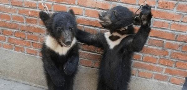 苏州一马戏团被曝虐待黑熊 小熊哭泣想逃离