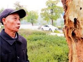 """部分绿化树遭白蚁啃噬 谁能""""救救""""它们"""