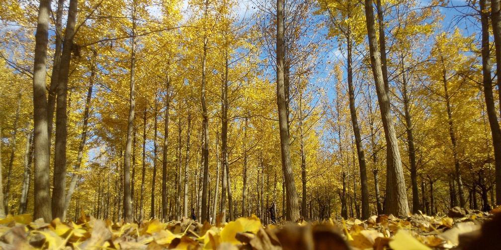 银杏金叶落满地  中山公园赏秋色
