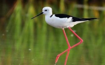 """闽东南沿海的""""水鸟模特""""黑翅长脚鹬"""