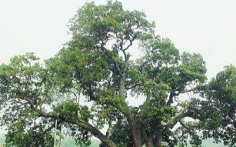 """古荔枝树获评""""中国最美古树""""300岁还能结荔枝"""