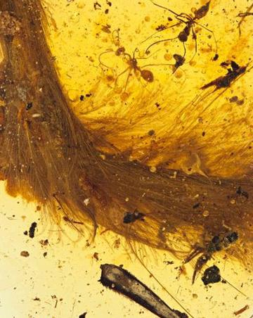 琥珀中首现恐龙化石:一截长毛的尾巴