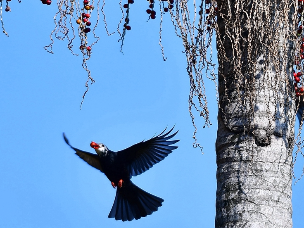 福建福州国家森林公园 黑鹎高空觅食
