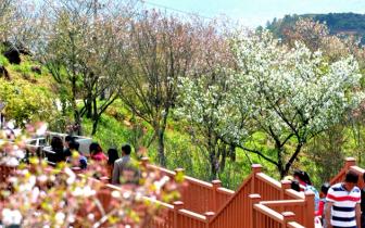 福建南安香草世界樱花盛开游人如织