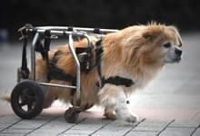 """重庆街头""""狗坚强"""" 半身残疾靠"""
