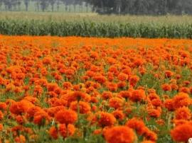 千亩菊花吐蕊争艳 峰峪湿地菊花节惊艳游客眼球