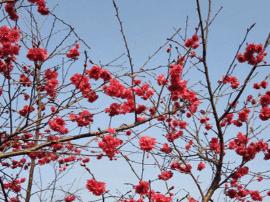 最佳观赏期!新会罗坑20多万棵樱花树免费观赏