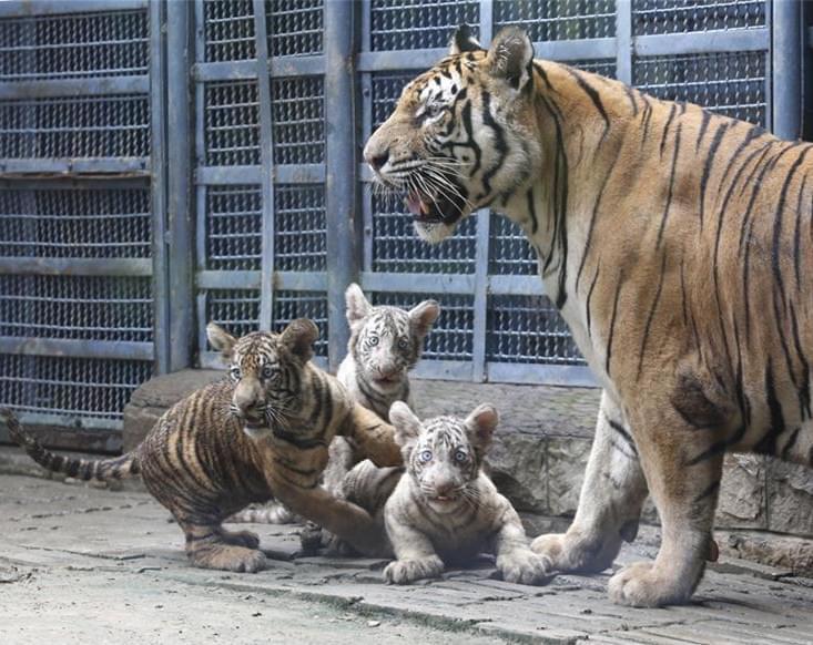 萌萌哒 三胞胎虎宝宝与游客见面