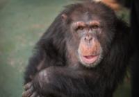 著名黑猩猩从实验室退休 还有六百只同类在等自