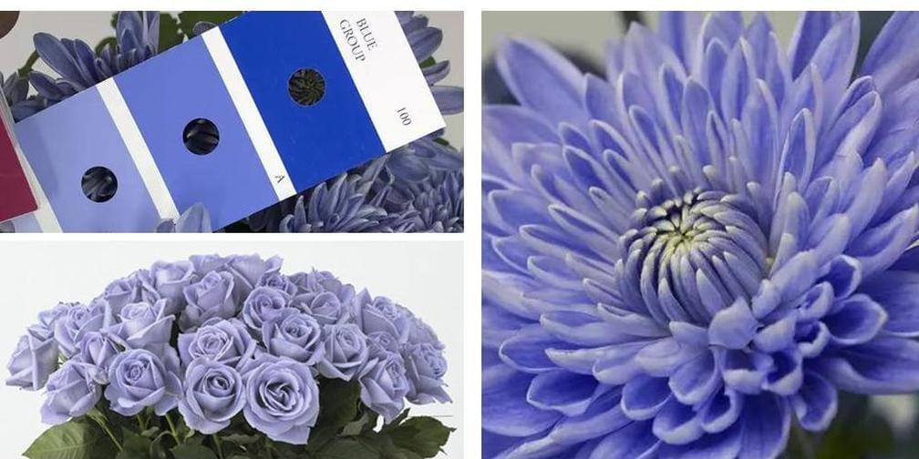 蓝色的菊花?日本转基因培育蓝菊花