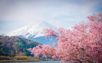 西雅图漫天樱花海 北美九尾狐寻访迷你樱花树攻略