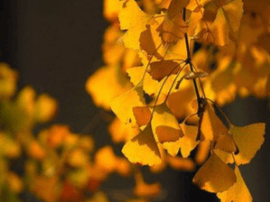 霜降节气过后泰州走进深秋 赏银杏必不可少