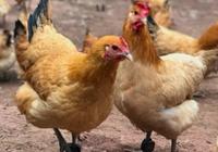 外媒:用区块链技术养鸡,中国走在了前列!