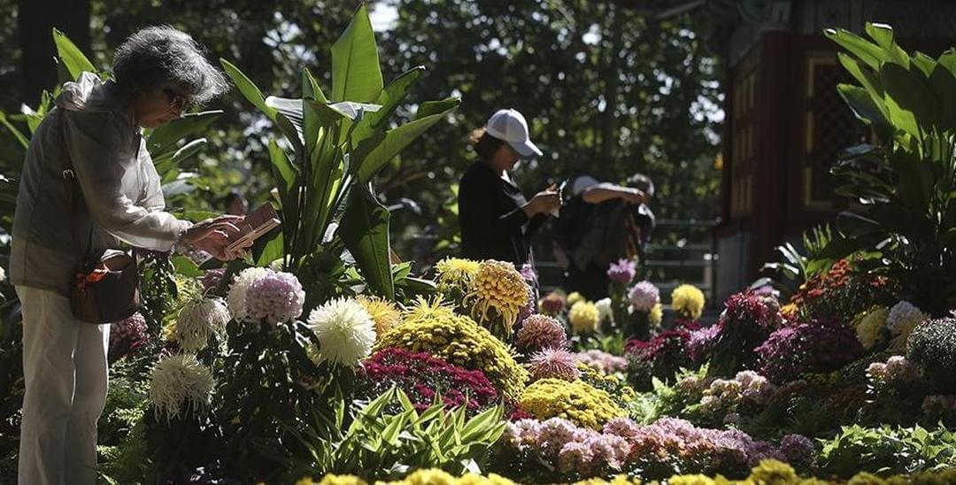 菊花文化节开幕 7展区将展示百万盆菊花
