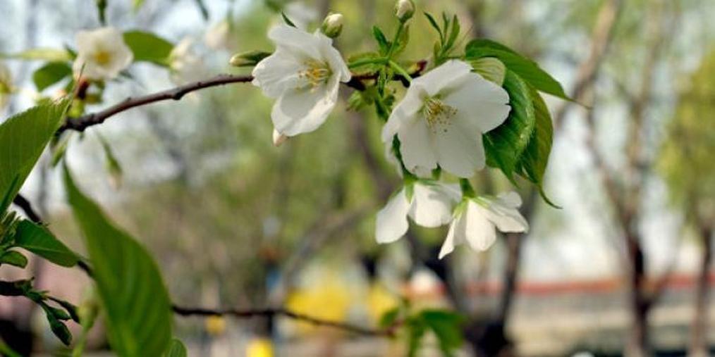 邯郸春色——龙湖公园赏花