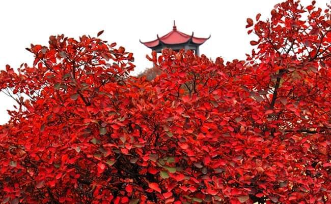 嵩山红叶醉迷人 本周日第八届嵩山红叶节开幕