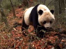 """国庆看""""国宝"""" 红外相机中的野生大熊猫你见过吗?"""