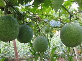 英山羌湾村引入瓜篓 一次种植5年挂果 亩收5000