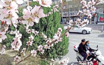 伊州城区杏花竞相绽放 春意浓