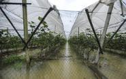 长沙数百亩水果蔬菜被淹