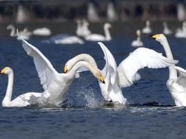 运城平陆:野生大天鹅陆续飞抵黄河湿地