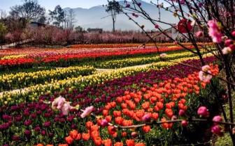 花季重庆:垫江牡丹樱花竞相开放