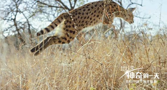 捕食的薮猫