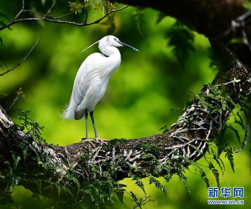 福州西湖公园的古树和春鸟