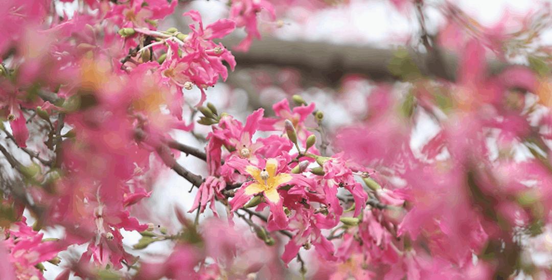 冬季也能赏花!美丽异木棉把天空都变成粉红色的