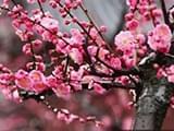 宁波今年梅花提前盛开 本月中下旬是最佳赏花期