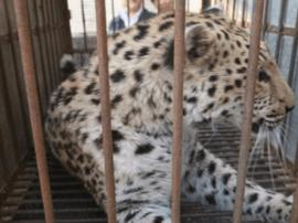 太原动物园为金钱豹安攀爬设施 提升生活环境