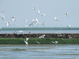 候鸟归来 百余只白琵鹭飞抵南矶湿地