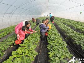 闻喜:温室大棚草莓红 田园采摘乐趣多
