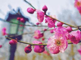 又到春来花开时 青岛人请收好这份赏花全攻略