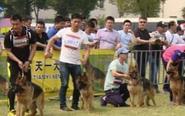 全国CSV德牧大赛 200多只牧羊犬同台PK