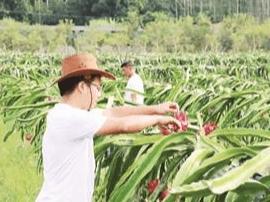 """长泰:家庭农场火龙果园一片""""红火"""""""