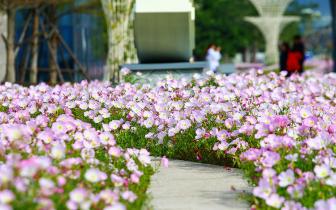 福州马尾东江滨公园 织出一湾粉红花海