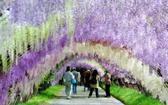 还去什么日本 最美紫藤花公园就藏身永川黄瓜山!