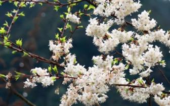 赏樱花何必去日本 到重庆旅游就有场樱花盛宴
