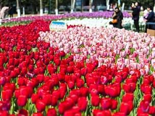 温岭锦屏公园郁金香让人惊艳