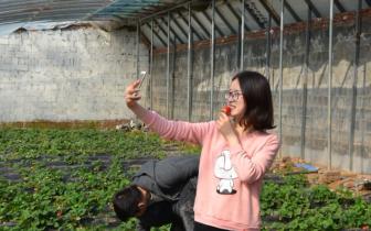 邯郸:草莓 冰葡萄 蔬菜相继成熟吸引市民采摘