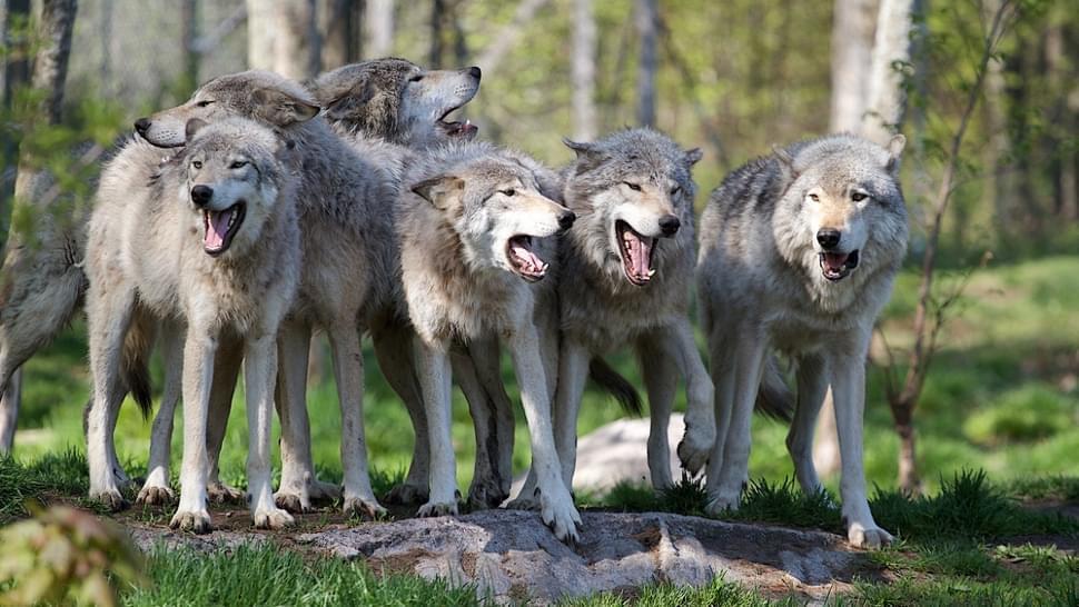 同类合作 狼比狗优秀太多 但有人说:狗可能是装的